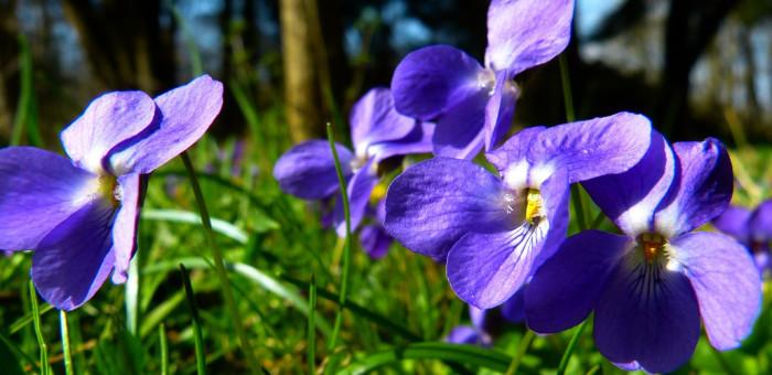 violet-292373_1280