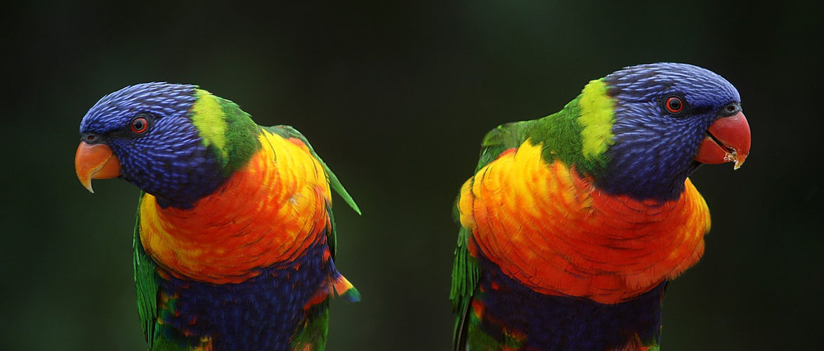 rainbow-lorikeet-686100_1280